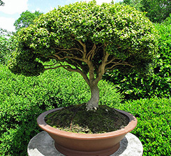 Servicios de Bonsai Tree y Paisaje en Youngstown, OH